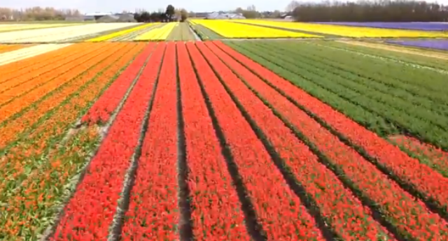 Dutch-tulip-fields-by-drone-560x302